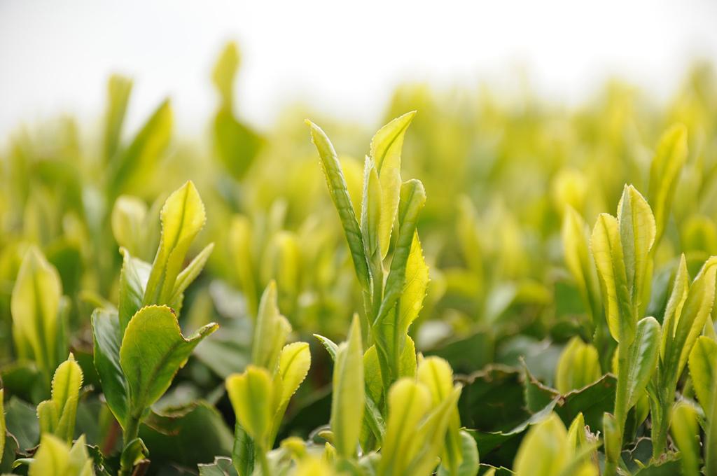 静岡本山茶