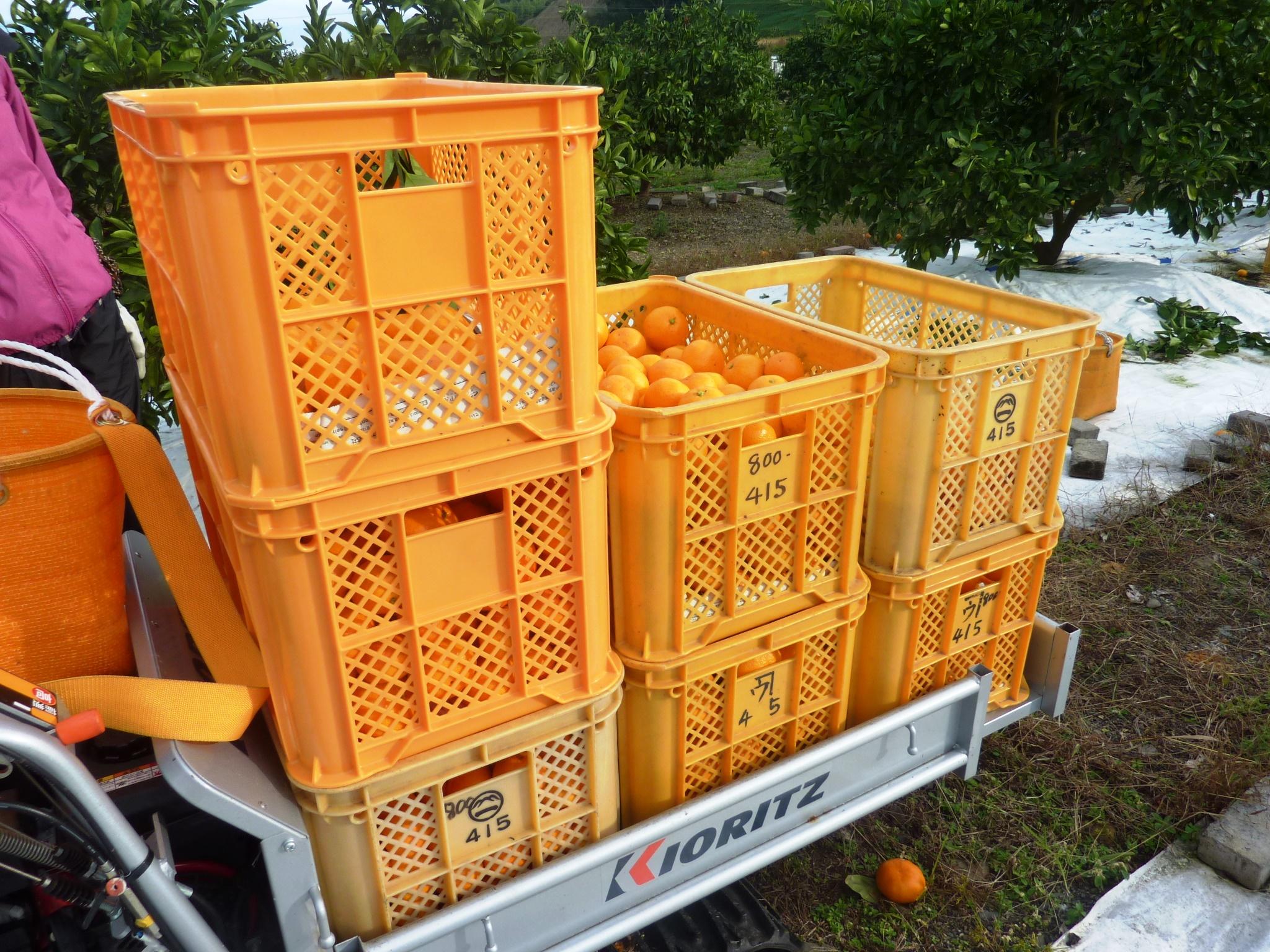 みかんの収穫の援農ボランティアに参加!