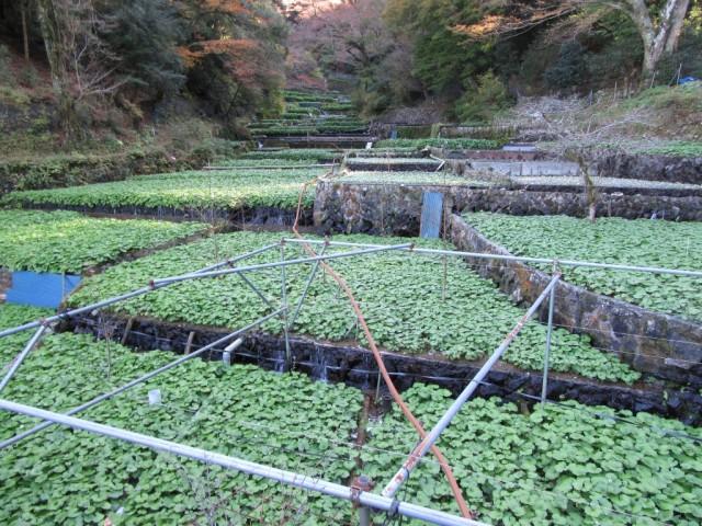祝!「静岡のわさび」が農業遺産に認定へ