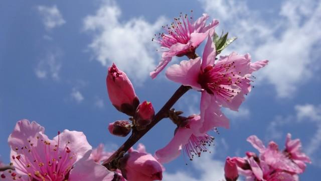 満開 長田の桃の花