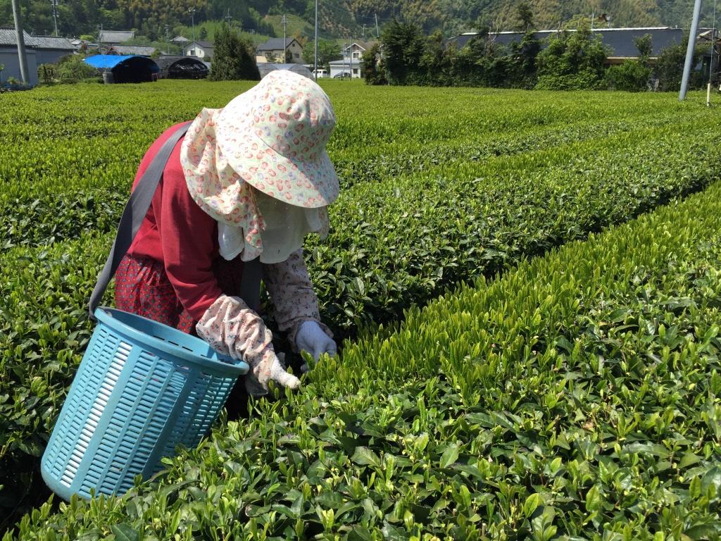 お茶農家をお手伝い!援農ボランティアご案内の画像