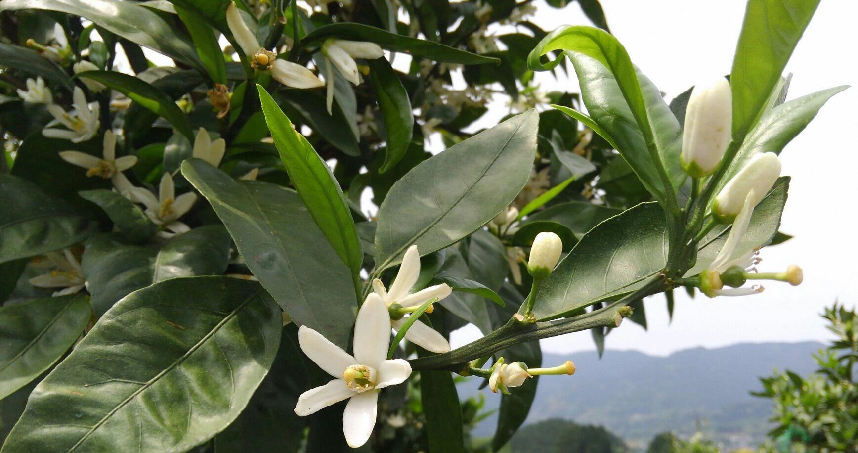 今年も咲きほこる 温州みかんの花