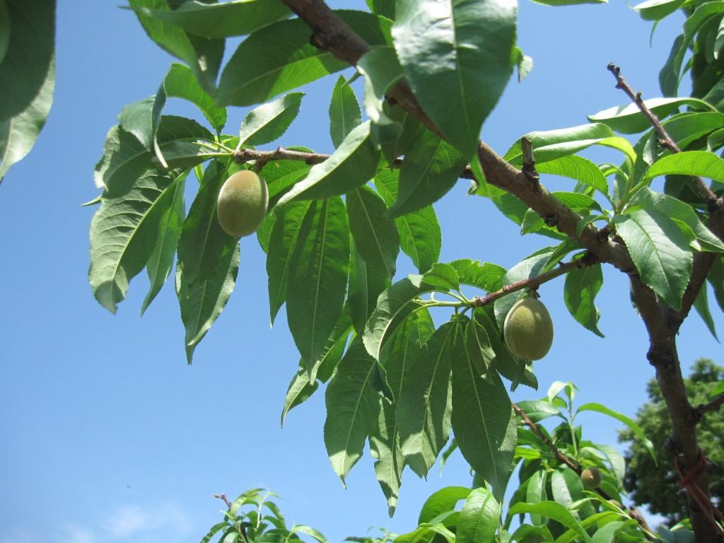 美味しい桃ができるまでの画像