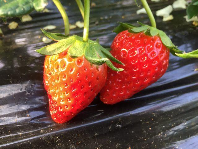 イチゴのシーズン到来!静岡市内で生産される3種のイチゴ!