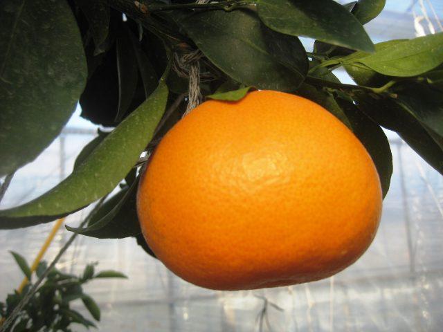 """""""柑橘の大トロ""""「せとか」の出荷が始まりました。"""