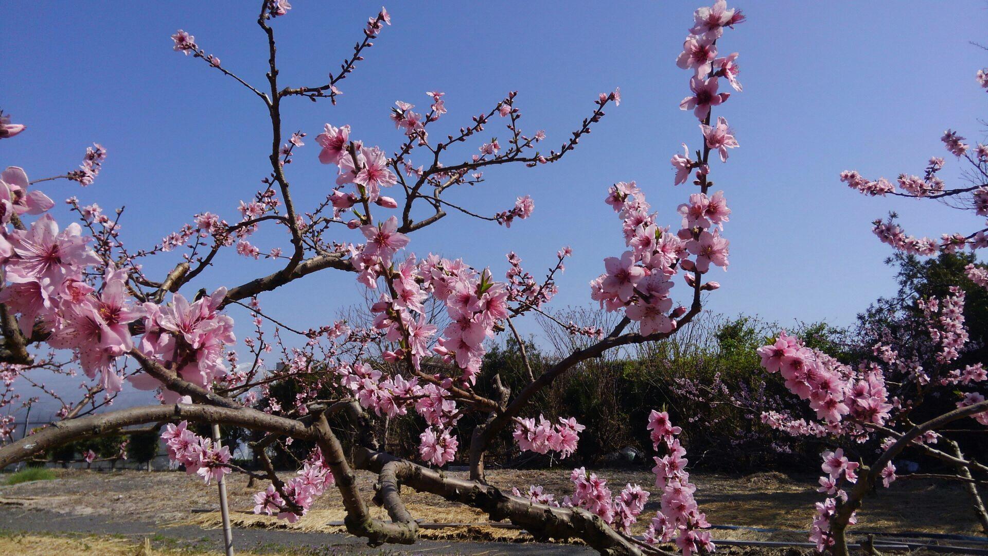 長田の桃の花 今年も咲き始めました!の画像