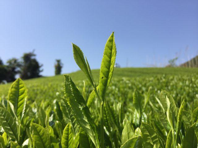 『お茶の収穫』の援農ボランティアを募集しています。