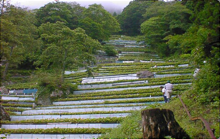 祝!世界農業遺産認定「静岡水わさびの伝統栽培」の画像