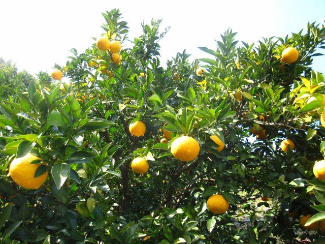 エレガントな柑橘?静岡市生まれの「スルガエレガント」