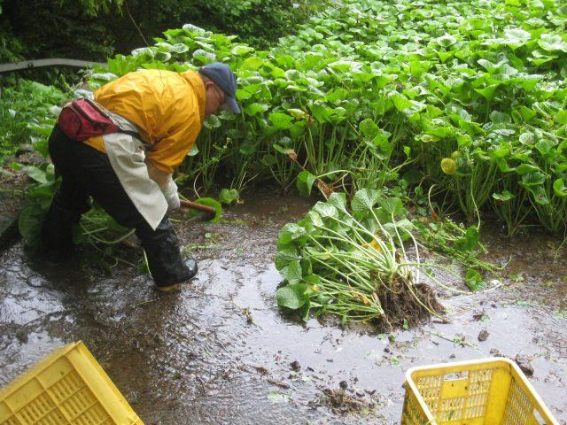 「静岡水わさびの伝統栽培」世界農業遺産認定&「お茶のまち静岡市」新茶シーズン到来PRinパルシェ