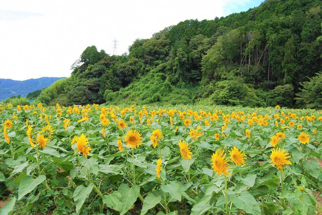 """夏の風物詩""""ひまわり""""を植えよう!の画像"""