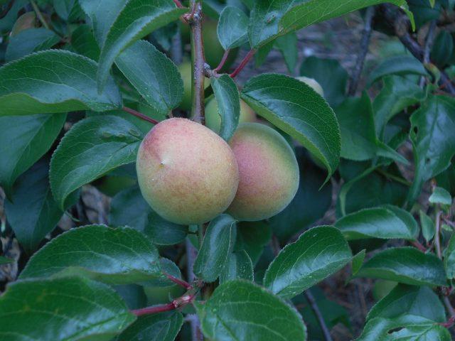 「梅」の収穫が始まっています!  ~ 清水区小島地区 ~