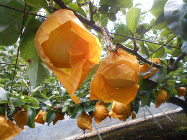 地元産の取れたての美味しさを味わって! ~ 清水の梨 ~