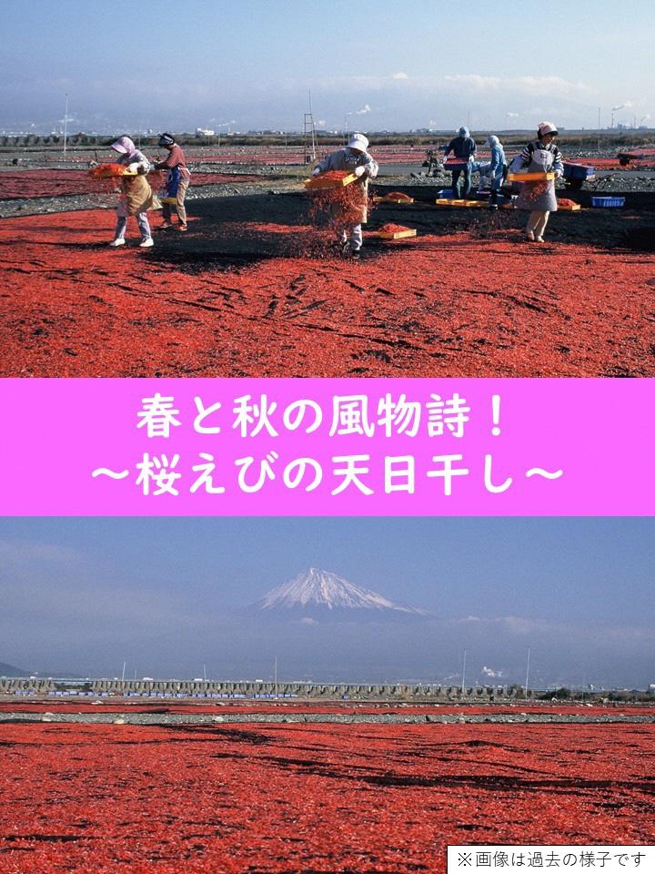 風物詩!桜えびの天日干しの画像