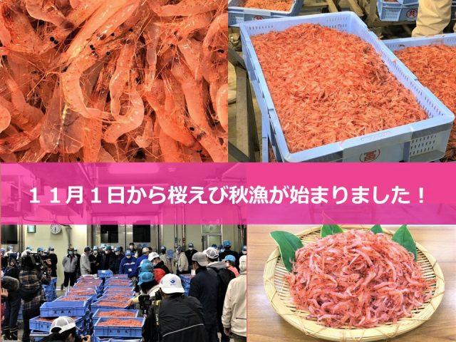 桜えび秋漁開始!