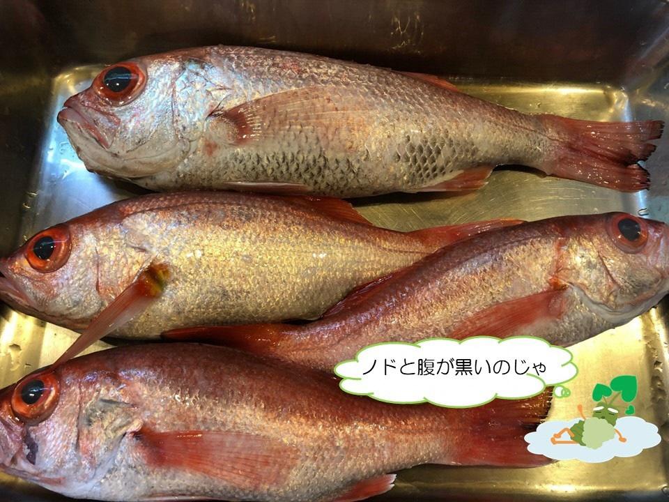 しずまえで獲れる赤い高級魚!の画像